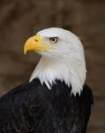 479px-Bald_Eagle_Portrait.jpg