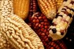 GEM_corn.jpg